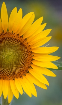sunflower-13