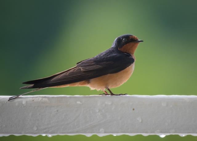 birdbanding 5_12_17-4
