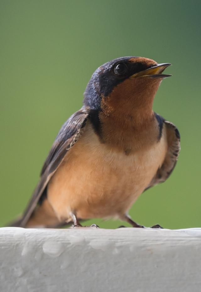 birdbanding 5_12_17-5
